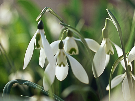 Beggars Roost Snowdrop