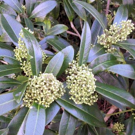 201602_Skimmia x confusa Kew Green