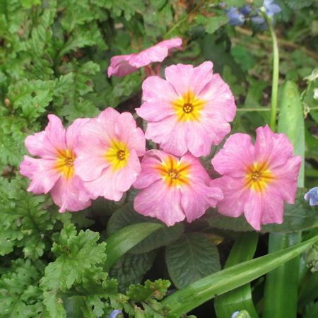 201603_Millwood Pink Beauty