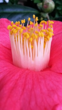 Camellia Jupiter copy