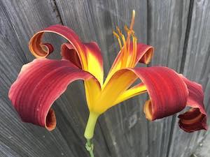 Hemerocallis red ribbons